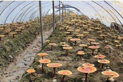 贵州中医药职业学校-中草药种植专业灵芝种植